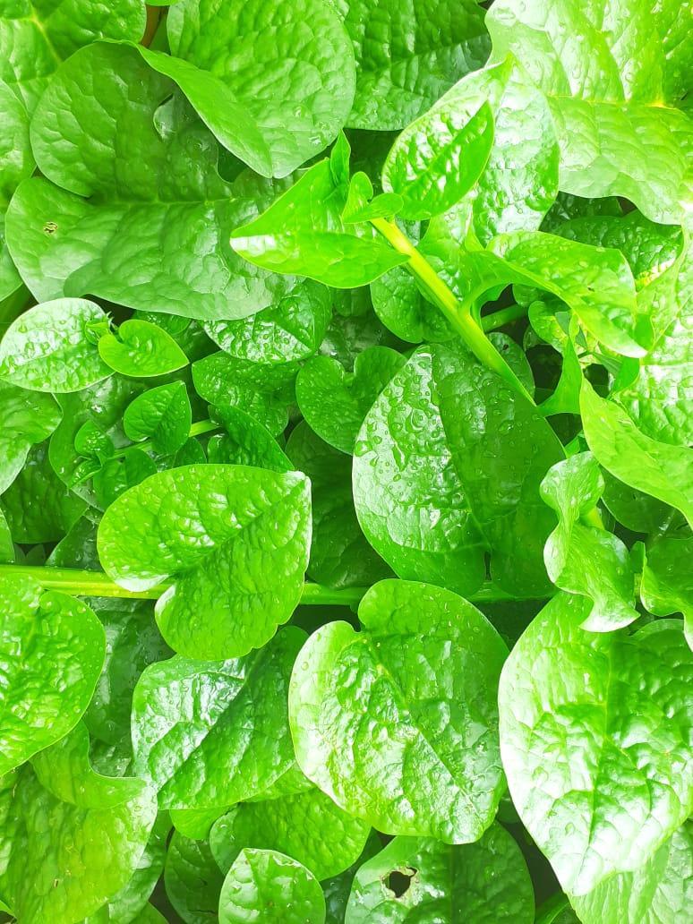 Nivithi (Malabar Spinach)